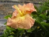 Hibiscus 'Banana Orange Sherbet'