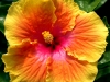 Hibiscus 'Best of Times'