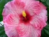 Hibiscus 'Candy Stripe'